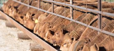 Cattle For Sale Photo